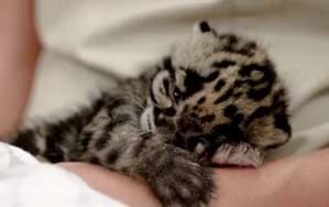 Rare baby leopard has a bath, takes a nap ... office productivity nosedives