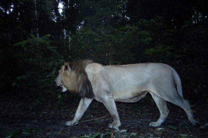 Lion -Gabon -Camera -Trap _2015_03_27