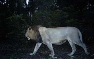 Camera trap footage sparks hope for a lion comeback in Gabon