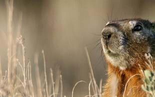 The Wild Life (EP 21): Dan Blumstein on groundhogs, animal personalities & social dynamics