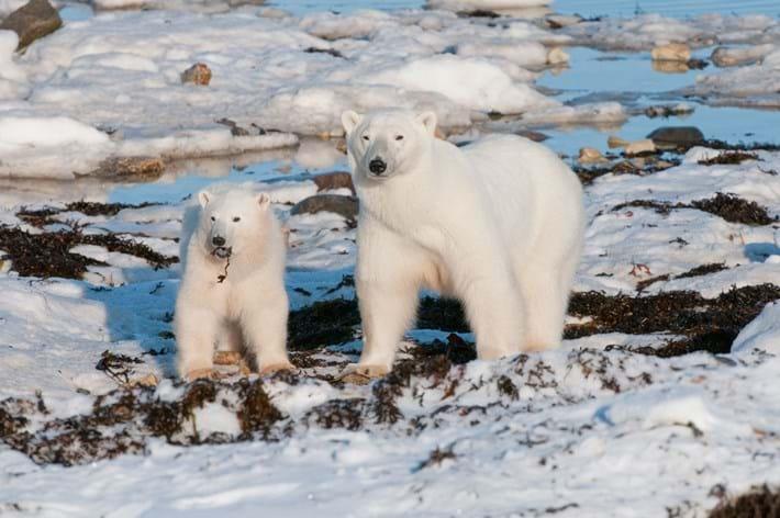 Polar -bear -and -cub _2015_04_01