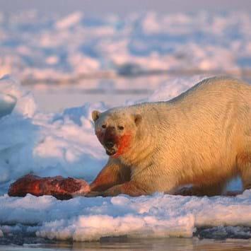 Polar -bear -feeding _2015_04_01
