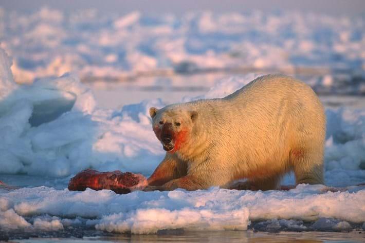 Polar -bear -feeding _2015_04_01 (2)