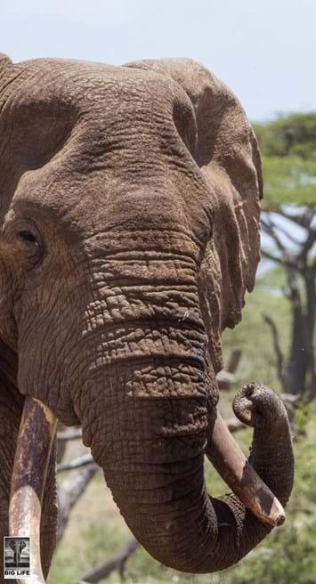 Injured Elephant 7 2015 04 07
