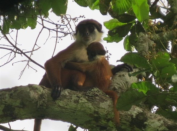 Bouvier 's Red Colobus Monkey _2015_04_20