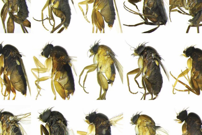 New -fly -species _2015_04_22