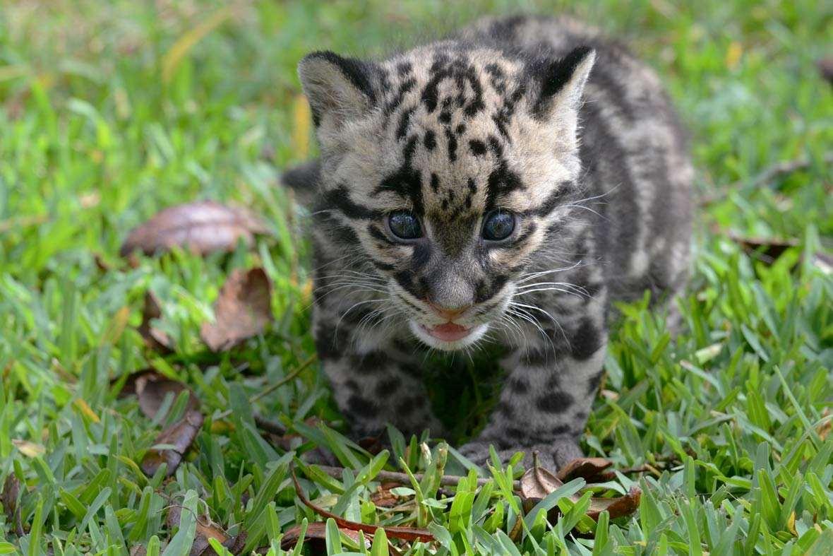 leopard-1-2015-4-21