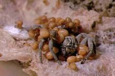Stegodyphus Lineatus Matriphagy 2 2015 04 23