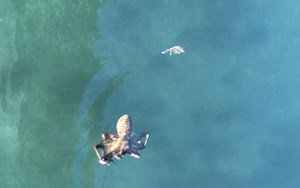 Watch: Octopus chases crab in Sydney Harbour