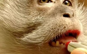 Macaques are not pets (and they do not enjoy wearing lipstick)