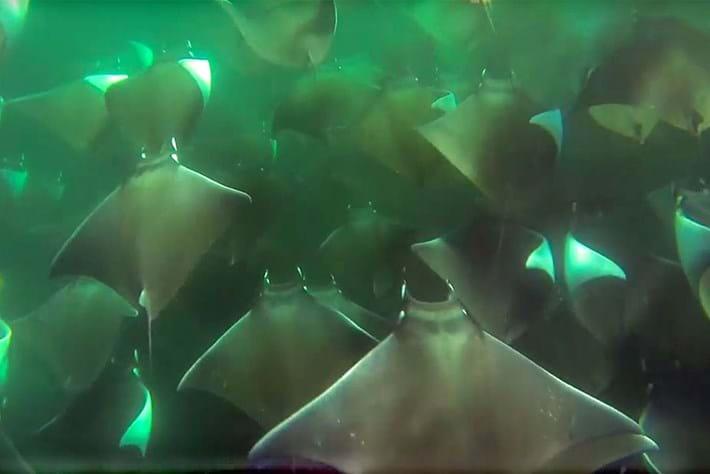 Mobula stingrays 2015-04-24