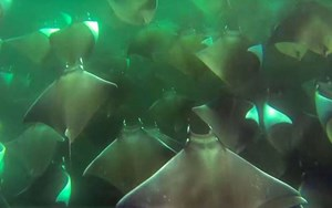 Epic ray migration captured on camera