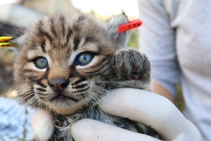 Bobcat With Eartag _2015_04_29