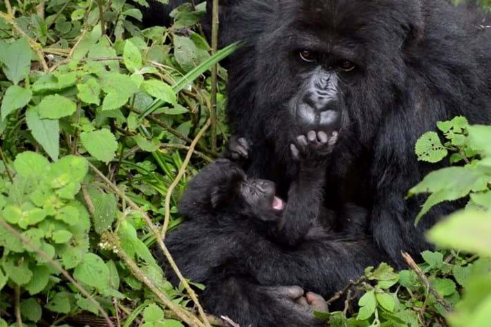 mountain gorilla-2015-4-29