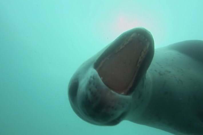 Leopard seal-2-2015-4-30