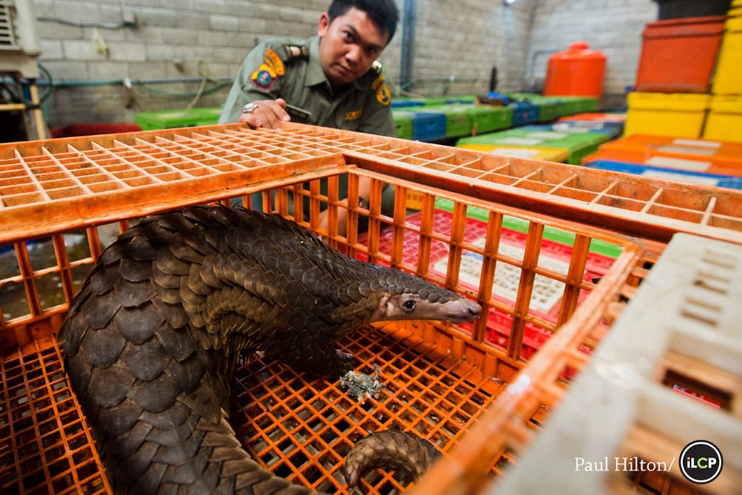 Pangolin in poultry cages