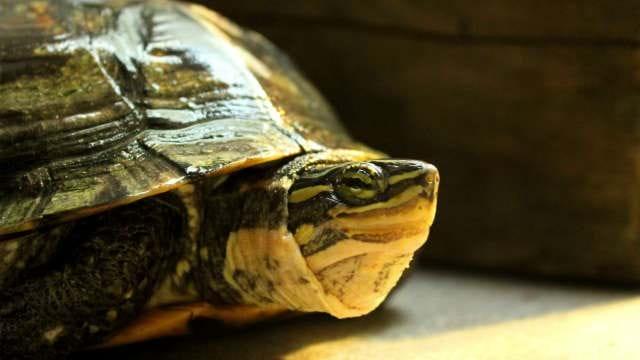 Annam Leaf Turtle 2015 05 05