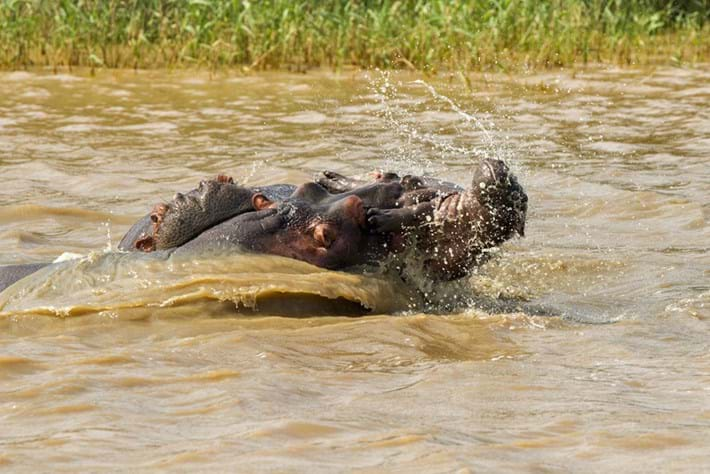 Hippo Tossing Baby 2 2015 05 06