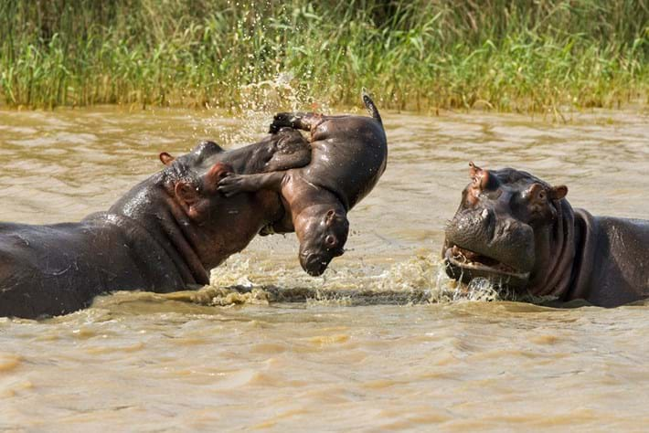 Hippo Tossing Baby 3 2015 05 06