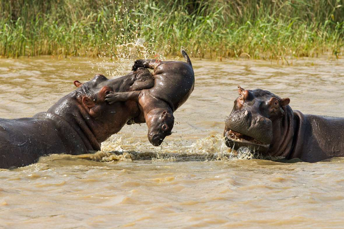 http://www.earthtouchnews.com/media/1085292/hippo_tossing_baby_3_2015-05-06_GalleryLarge.jpg