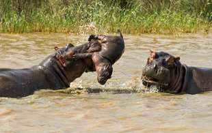 In photos: Angry hippo flings newborn calf into the air