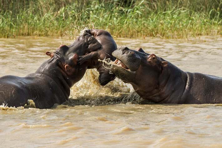 Hippo Tossing Baby 2015 05 06