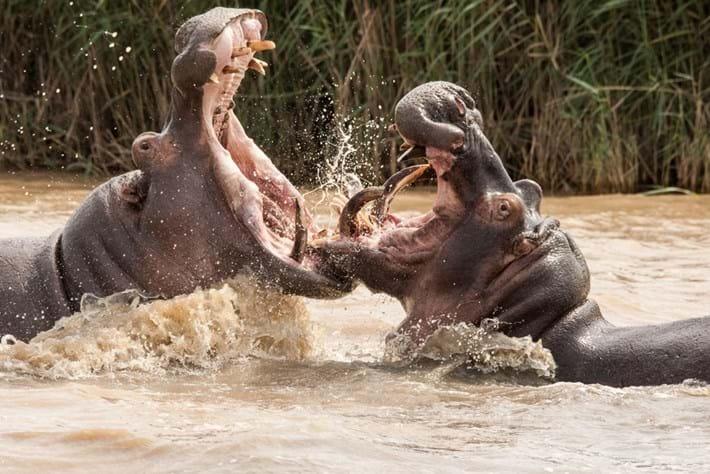 Hippos Fighting 2015 05 06