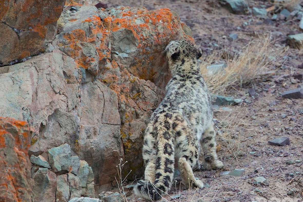 Crazy camouflage: Let's play spot the snow leopard | in ...
