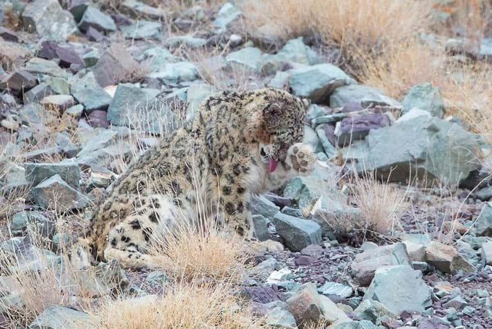 Leopard-11-2015-4-6