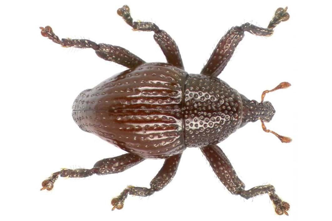 Trigonopterus attenboroughii