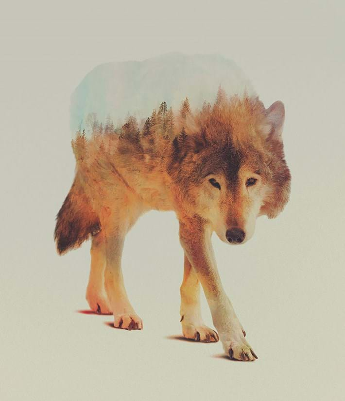 Wolf Big 2015 05 06