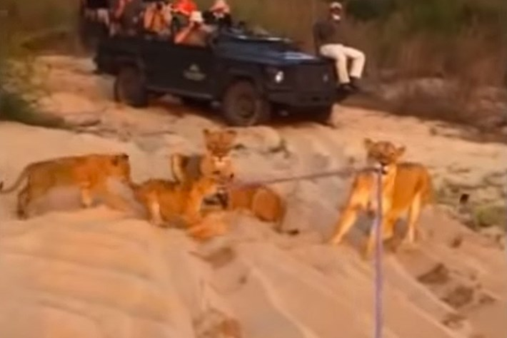 VIDEO: Lions play tug of war with a tow rope