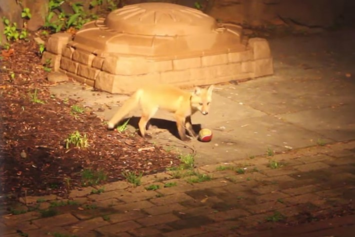 Watch what happens when two adorable baby foxes find a tennis ball