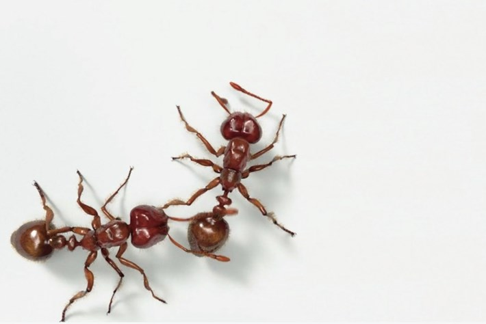 Uncovering the painful secrets behind the fire ant's burn