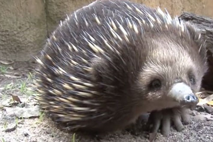 It's Friday! Here's an adorable sneezing echidna.