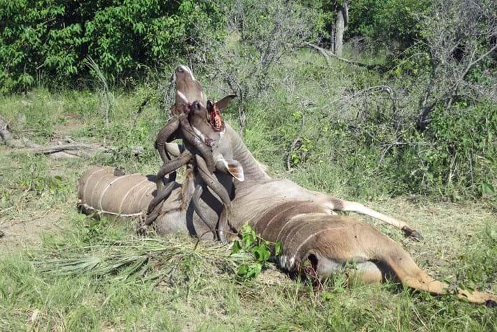 Kudu Horns Locked 2 2015 05 15