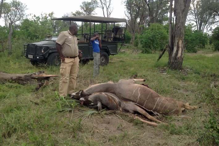 Kudu Horns Locked 6 2015 05 15