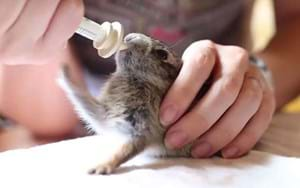 VIDEO: Rescued baby rabbit plays invisible piano during feeding time