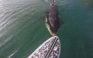 Paddleboarder gets surprise nibble from curious orca