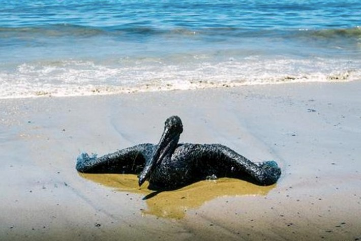 Southern California oil spill already devastating wildlife (PHOTOS)