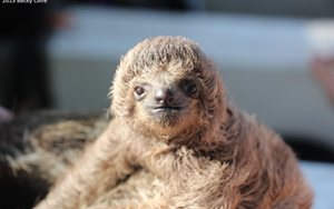 You can help save Panama's endangered pygmy sloths