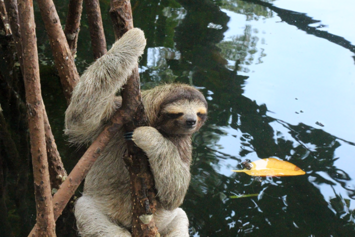 Pygmy Sloth Mangroves 2015 05 25