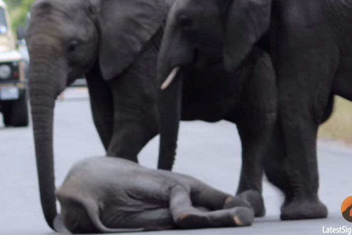 No more walking! Herd of elephants helps exhausted calf off of roadway