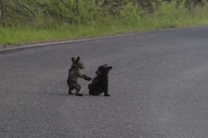 Tiny baby bears wrestle in Yosemite (FULL VIDEO)