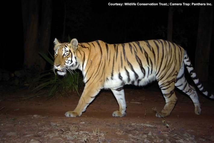Tiger Camera Trap 2015-05-29