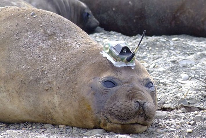 A decade of intel about the world's remote oceans – gathered by 'tweeting' seals