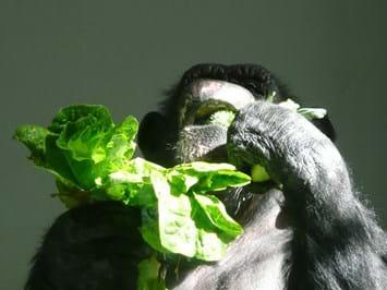 chimp eating_2015_06_05