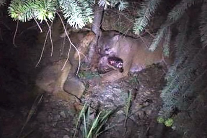 Rare footage of cougar vs wolf battle in Canada's wilderness