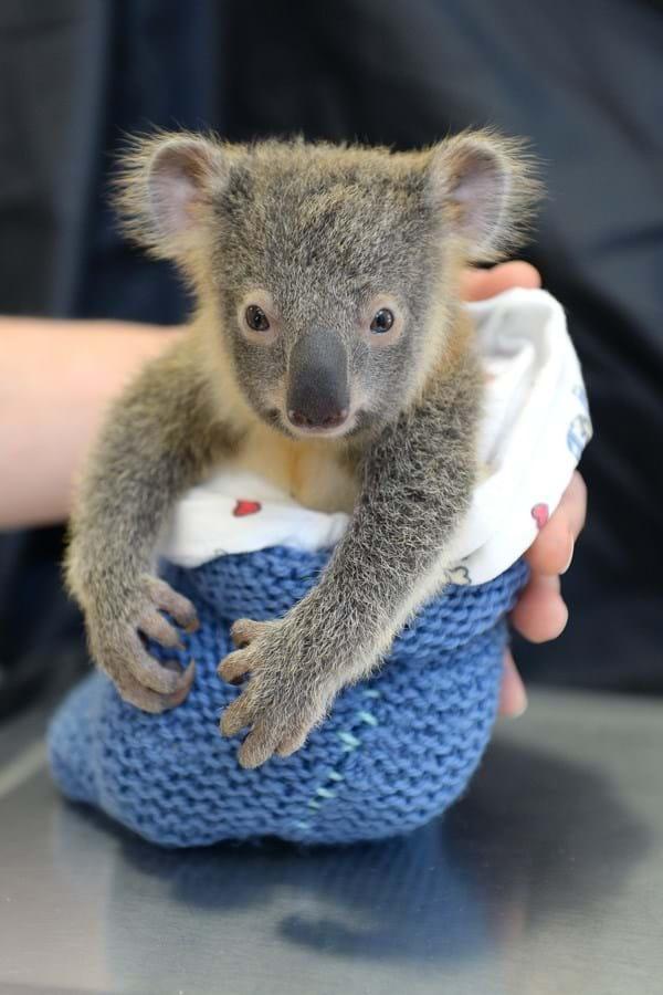 Koala-resize-2015-6-11