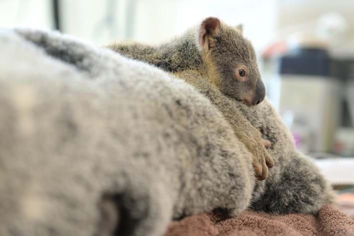 Koala-2-2015-6-11